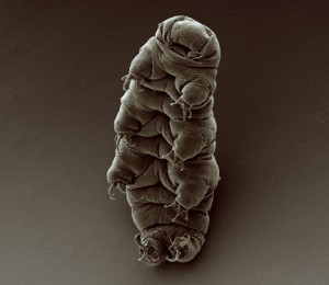 © 2008 Goldstein lab - tardigrades This media file is licensed under the Creative Commons Attribution-ShareAlike License - Version 2.0